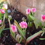 Tulips in the front.....