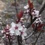 Prunus_x_cistena_2012