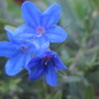 Lithodora 'Heavenly blue' flower closer up. (Lithodora diffusa (Lithodora))