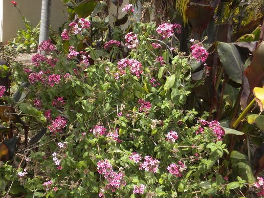 Pentas lanceolata -  Red Star Flower (Pentas lanceolata -  Red Star Flower)