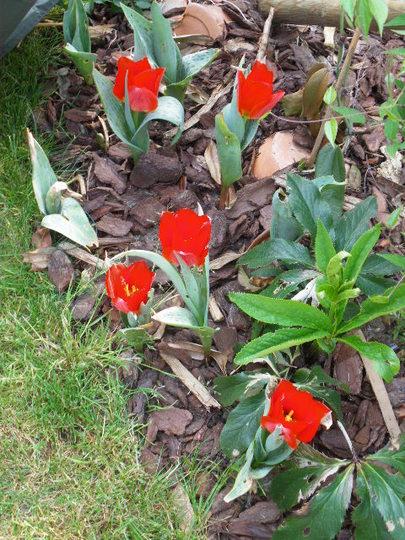 Short Stemmed Red Tulips