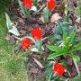 Tulips_005