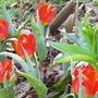 Short Stemmed Red Tulips 2