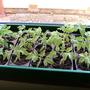 Cherry tomatoes plants