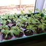 Shirley tomatoe plants