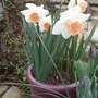 """Pink"" Daffodils 'pink pride'/'pink charm'"