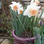 """Pink"" Daffodils 'pink pride'/'pink charm'"
