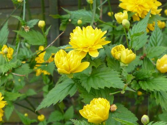 Kerria (Kerria japonica 'Floroplena')