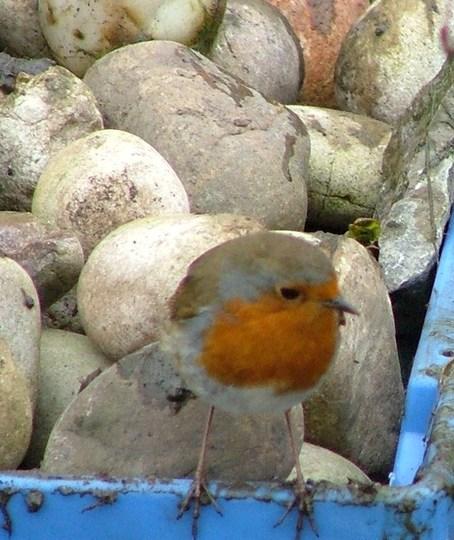 robin helping