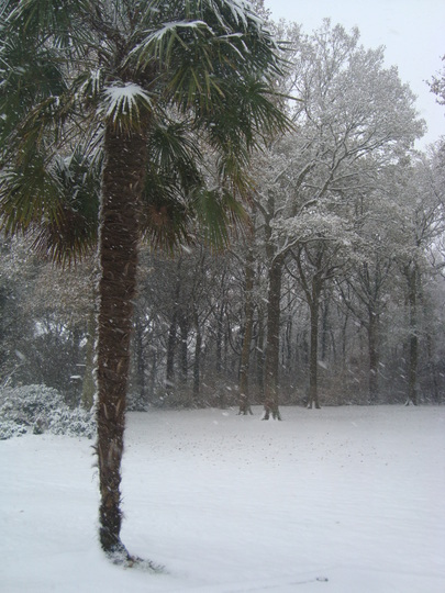 Trachycarpus Fortunei (Trachycarpus Fortunei)