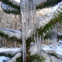 Monkey Puzzle Tree covered in icicles (Araucaria araucana)