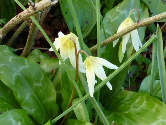 squirrels didnt dig these up. (Erythronium 'White beauty')