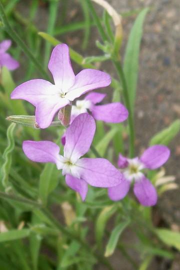 A garden flower photo (Matthiola longipetala (Night-scented stock))