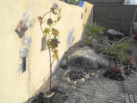 Castor oil plant, just planted out (Ricinus communis (Castor oil plant))