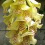 Digitalis grandiflora (Yellow foxglove)
