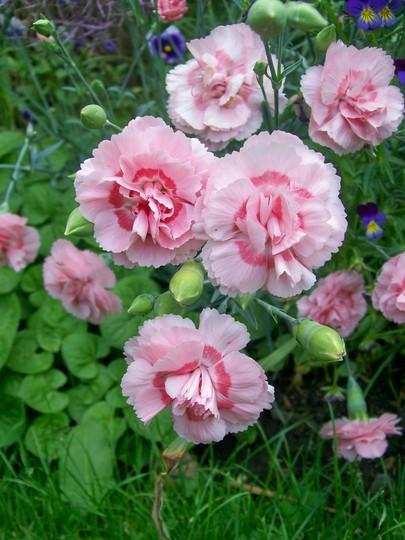 A garden flower photo (Dianthus plumarius (Border Pink))
