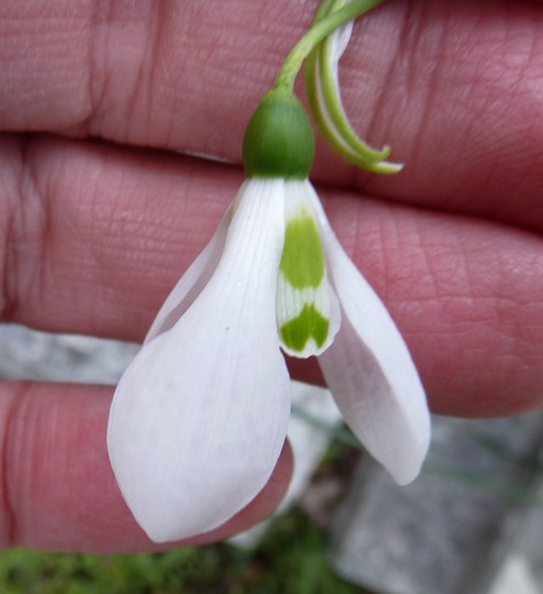 7.4.12 Galanthus Elwessi outside view.