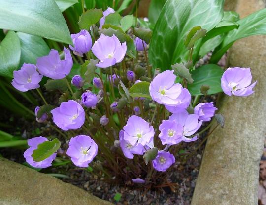 Jeffersonia dubia - 2012 (Jeffersonia dubia)