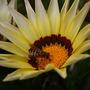 busy bee on gazania