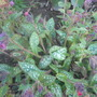 Pulmonaria Victorian Brooch