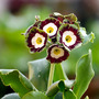 Primula Auricula : Country Artist (2)