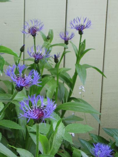 cornflower (Centaurea montana (Berg Centaurie))