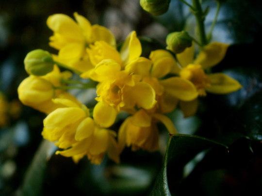 mahonia flowering (Mahonia aquifolium (Oregon grape))