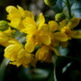 mahonia flowering (Mahonia aquifolium (Oregon grape))