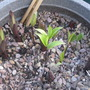 Lilies coming on 10/4/2012