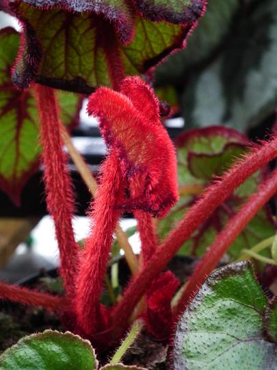 Begonia curly fireflush (Begonia curly fireflush)