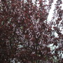 Prunus cerasifera 'Nigra' - Purpled leaved flowering plum (Prunus cerasifera 'Nigra' - Purple Leaved Flowering Plum)