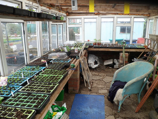 seedlings in allotment greenhouse