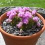 Armeria juniperifolia (Armeria juniperifolia)