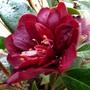Camellia hybrid 'Night Rider'