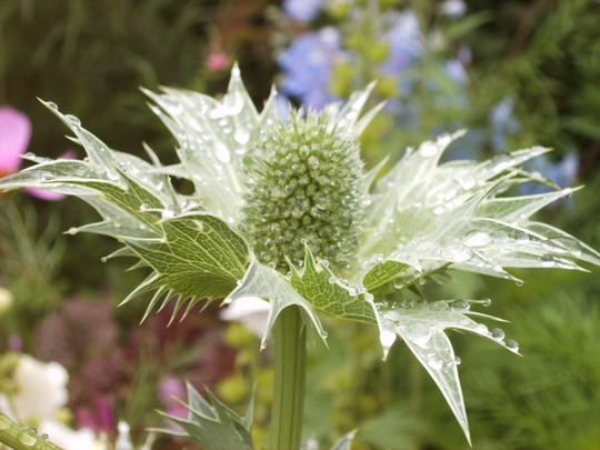 Eryngium giganteum (Miss Wilmot's Ghost) in the rain (Eryngium giganteum (Miss Willmott's ghost))