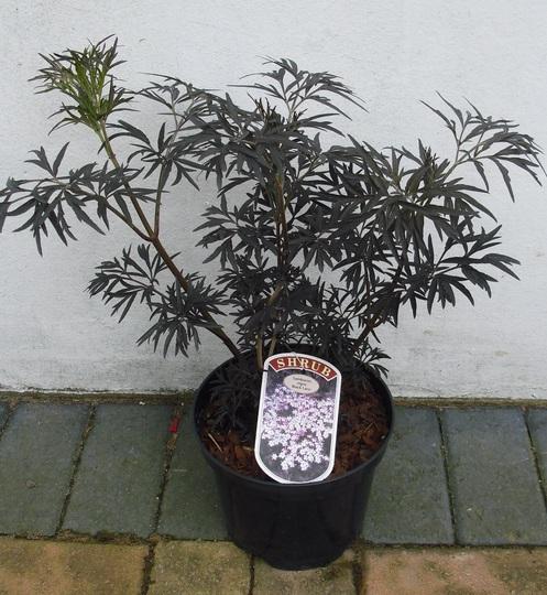 Sambucus nigra 'Black Lace'  (Elder) (Sambucus)