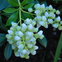 Pieris flowers...... (Pieris japonica Debutante)