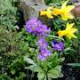 Purple Drumstick Primula and Daffs