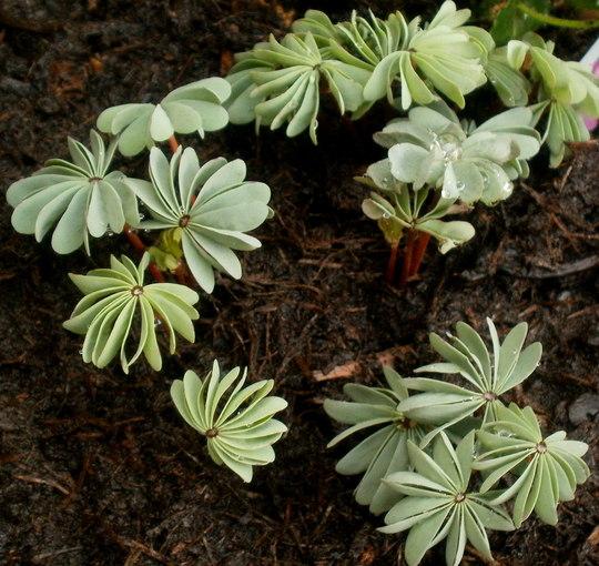 oxalis (Oxalis adenophylla (Sauer Klee))
