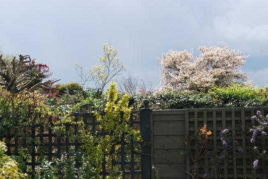 Borrowed blossom......