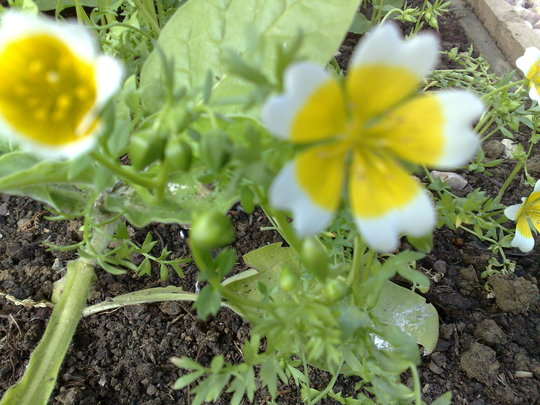 Poached Egg plant also delicious (Limnanthes douglasii (Poached egg plant))