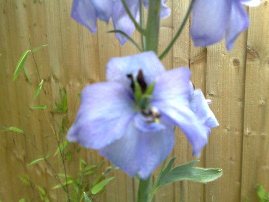 A garden flower photo (Delphinium elatum (Delphinium))