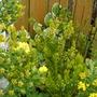 Spring colours (Erica arborea (Briar))