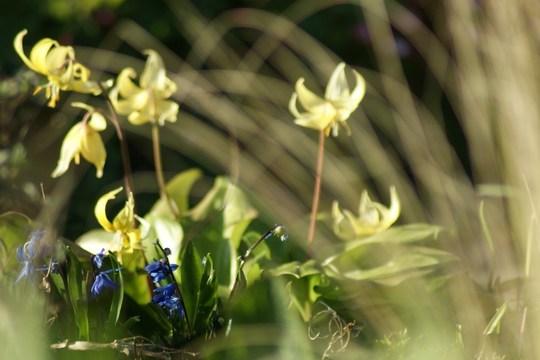 Erythronium & grasses