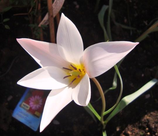 Tulipa Clusiana.
