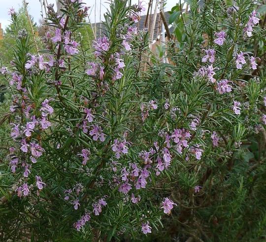 Rosmarinus officinalis 'Roseum' - 2012 (Rosmarinus officinalis 'Roseum')