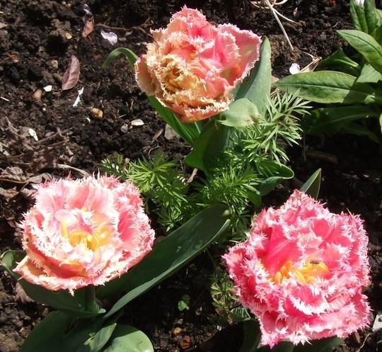 Tulipa Double Crispa Queensland' (Tulip 'Double Crispa Queensland')