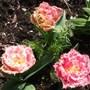 Tulipa_double_crispa_queensland_