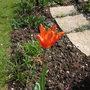 Tulipa_ballerina