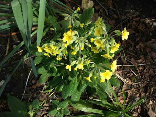 Primula veris (Cowslip) (Primula veris (Cowslip))